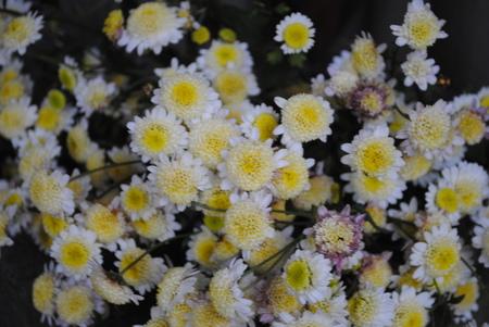 赤坂さんからいただいた菊の花.jpeg