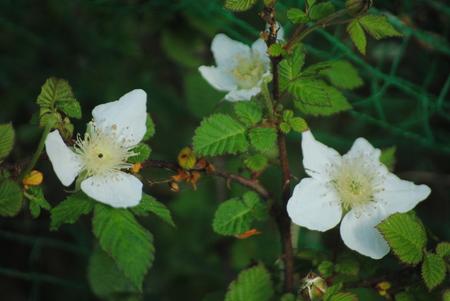 野いちごの花.jpg