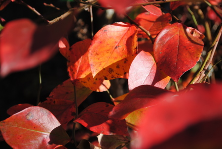 ブルーベリーの紅葉1.jpg
