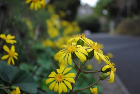 ツワブキの花.jpg